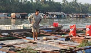 Cần tính toán lại việc nuôi cá trên sông Cái Vừng