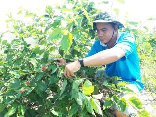 Hiệu quả mô hình trồng dâu tằm kết hợp vườn sinh thái