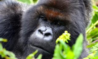 4 con khỉ đột núi quý hiếm trong sách đỏ chết do sét đánh