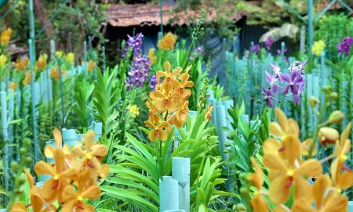 Thu nhập ổn định nhờ trồng hoa lan cắt cành