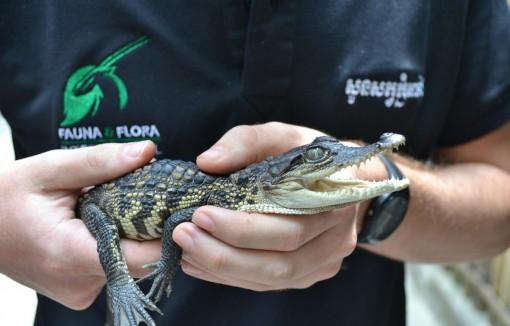 Campuchia phát hiện 10 chú cá sấu con quý hiếm gần tuyệt chủng