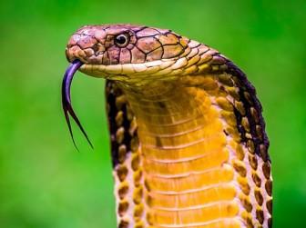 Nọc rắn có thể trị ung thư vú và ung thư đại trực tràng