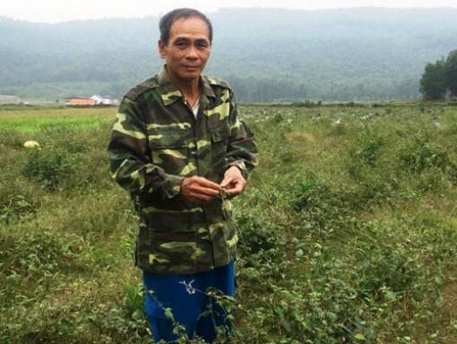 Phá ngô, lạc trồng cây dại- cà gai leo mà lại thu lời lớn