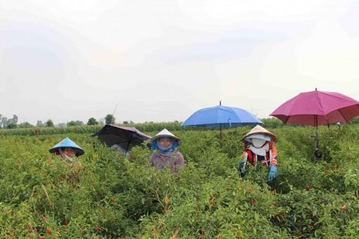 Nông dân Tân Châu chủ động trong sản xuất