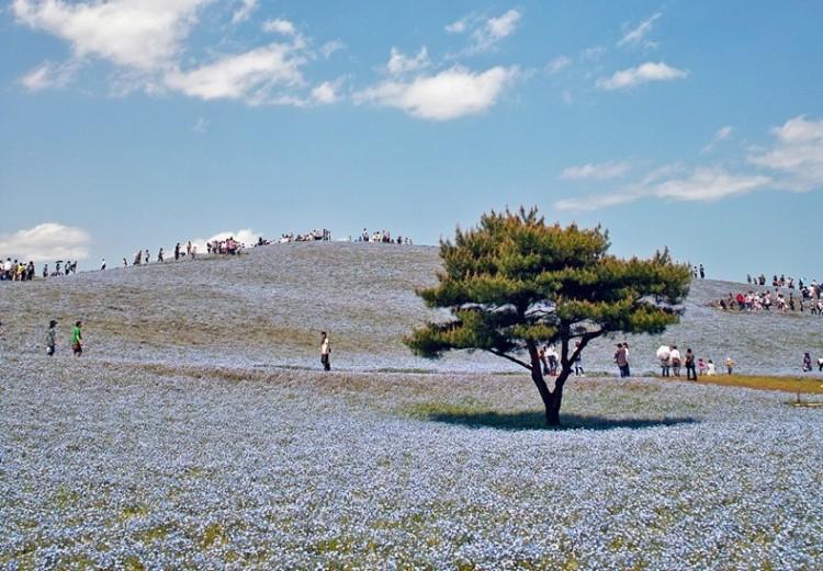 Quyến rũ thiên đường hoa ở công viên Hitachi, Nhật Bản