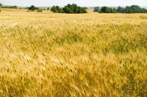 Giá lúa gạo toàn cầu tăng mạnh vì dịch COVID-19