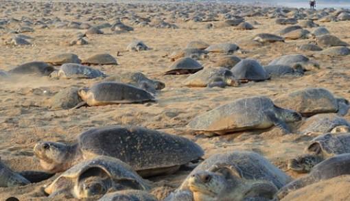 70.000 rùa biển xuất hiện bất thường trên bờ biển vắng bóng người
