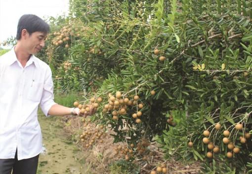 Châu Phú có hơn 1.212ha trồng cây ăn trái