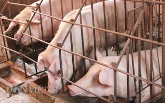 Giá heo hơi hôm nay 9-4: Giá lợn đảo ngược, cao nhất 85.000 đồng/kg