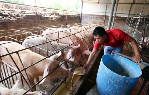 Giá heo hơi hôm nay 27-4: Dịch tả lợn châu Phi trở lại, ngại tái đàn