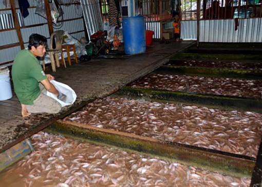 Phát triển kinh tế từ nuôi cá lồng bè