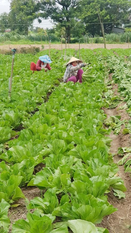 Chợ Mới giảm diện tích lúa, tăng cây màu