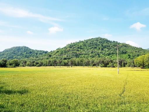 Tri Tôn khuyến cáo nông dân không xuống giống nếp vụ hè thu 2020