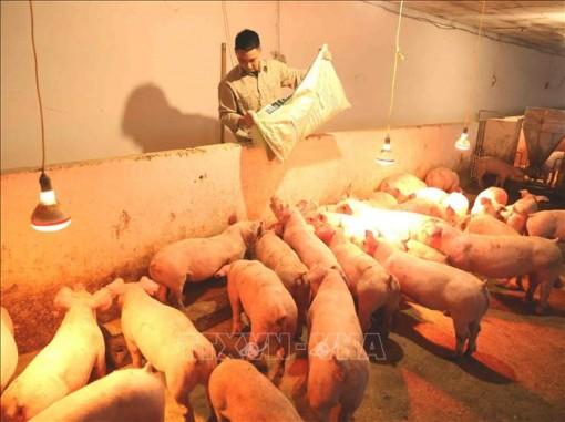 Nhiều tỉnh tái đàn lợn đạt 90% so với trước khi có dịch tả lợn châu Phi