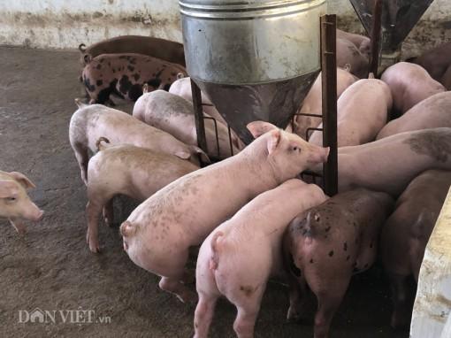 """Giá heo hơi hôm nay 5-5: Các """"ông lớn"""" công bố lãi khủng từ giá lợn"""