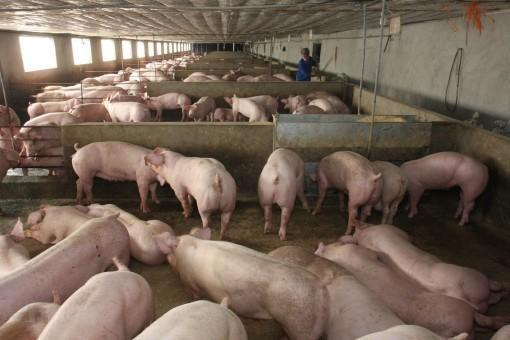 """Giá heo hơi hôm nay 6-5: Đứng giá, chủ trại """"khủng"""" tiết lộ cách chống dịch tả lợn châu Phi"""