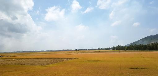 Tăng cường sử dụng các giống lúa chất lượng cao