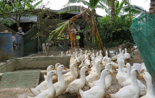 Phú Tân: Hội thảo mô hình nuôi vịt siêu nạc Grimaud