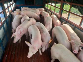 """Giá heo hơi hôm nay 23-5: """"Ông lớn"""" mạnh tay tăng 5.000 đồng/kg lợn hơi, phá vỡ cam kết"""