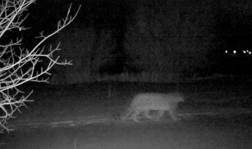 Phát hiện loài báo tuyết hiếm gặp 'dạo chơi' gần thành phố Almaty, Kazakhstan