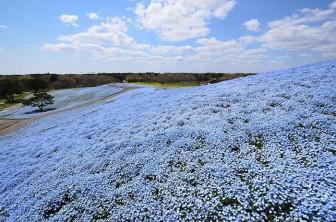 Công viên Nhật Bản đẹp kỳ ảo với hàng triệu bông hoa mắt xanh nở rộ