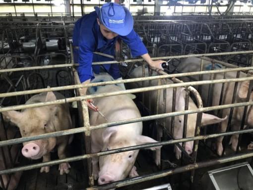 Giá heo hơi hôm nay 2-6: Bán 50 tấn lợn hơi giá 97.000 đồng/kg, chủ trại phố núi bỏ túi 4,8 tỷ