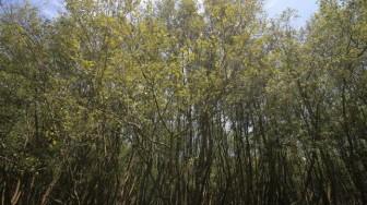 Nước biển dâng có thể 'quét sạch' rừng ngập mặn vào năm 2050