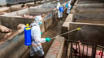 Giá heo hơi hôm nay 27-6: Giá heo tăng, lo ngại dịch tả lợn châu Phi tái phát