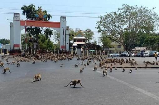 Khỉ 'chiếm giữ' một thành phố Thái Lan