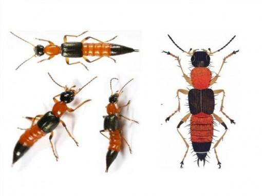 Cách xử trí khi dính độc kiến ba khoang
