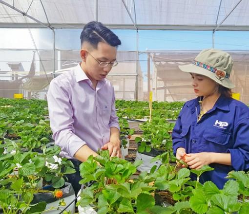 Gia Lai: Làm nông nghiệp công nghệ cao, trai trẻ Gia Lai đưa dâu tây vào nhà lưới
