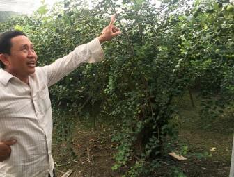 Hiệu quả từ mô hình trồng táo trong nhà lưới