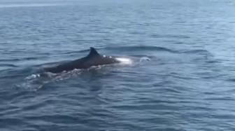 """Cá voi """"khủng"""" dài hơn 4 m bất ngờ xuất hiện ở Cù Lao Chàm"""