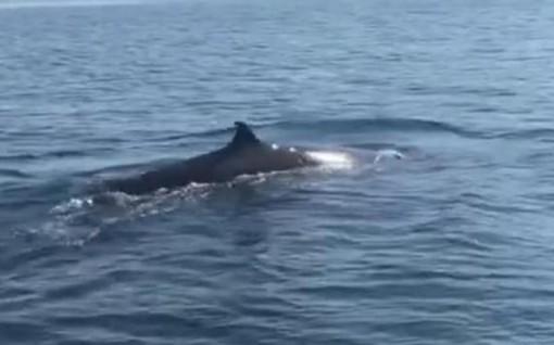Cá voi xuất hiện ở vùng biển Cù Lao Chàm