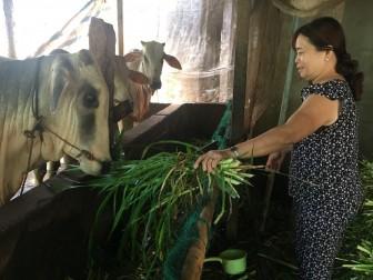 Hiệu quả từ mô hình nuôi bò vỗ béo ở Đa Phước