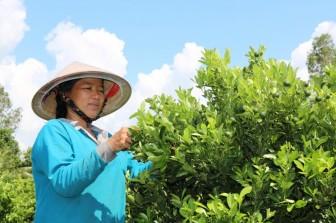 Châu Thành chuyển đổi gần 1.908ha đất vườn tạp và lúa sang trồng cây ăn trái, rau màu