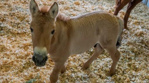 Nhân bản ngựa hoang Mông Cổ đầu tiên trên thế giới