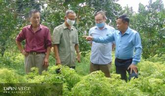 """Thái Nguyên: Nông dân rủ nhau trồng """"sâm người nghèo"""", chế ra thứ cao uống vào khoẻ cả người"""