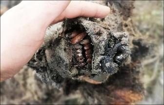 Phát hiện xác gấu hang động cổ đại vẫn còn nguyên vẹn sau 39.000 nghìn năm