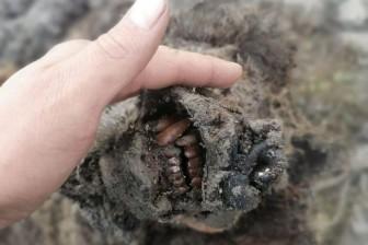 Phát hiện xác nguyên vẹn của gấu hang động thời tiền sử