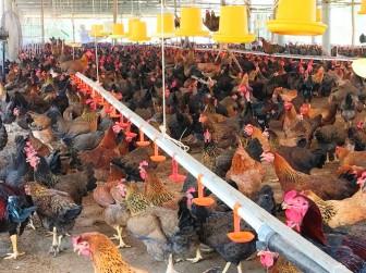 """Bình Định: """"Chi viện"""" 42.000 con gà giống, thực hiện mô hình nuôi gà an toàn sinh học"""