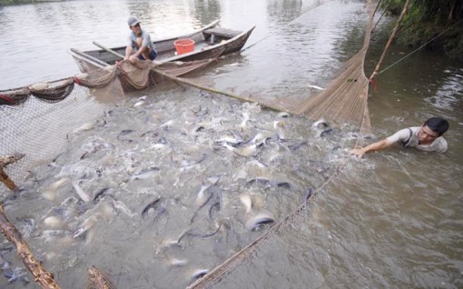 Đẩy mạnh tiêu thụ cá tra ở thị trường trong nước
