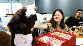 Lạc đà Alpaca -Thú cưng mới lạ nơi văn phòng