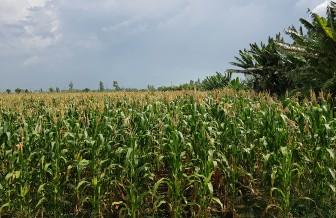 An Giang chuyển đổi cây trồng theo hướng ổn định