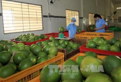 Cơ hội cho bưởi Việt Nam tiếp cận thị trường Chile