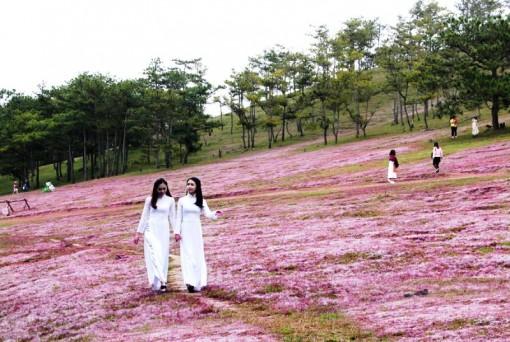 Không tổ chức mùa hội cỏ hồng Langbiang năm 2020