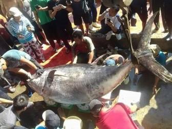 Các nước tranh mua, xuất khẩu cá ngừ có 1 năm lịch sử hiếm có