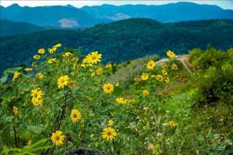 Hoa dã quỳ phủ vàng khắp núi đồi Điện Biên