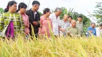 Nông dân Tri Tôn học tập canh tác lúa SRP