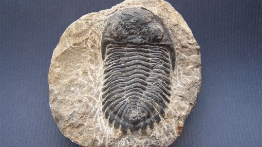Phát hiện hóa thạch dị thường 500 triệu năm tuổi của loài bọ ba thùy